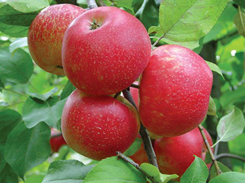 Orchard Honeycrisp